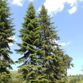 Fir Needle Essential Oil Siberia