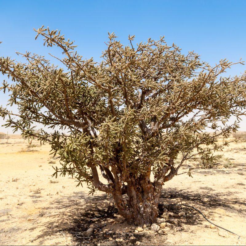 Frankincense Essential Oil, Somalia\