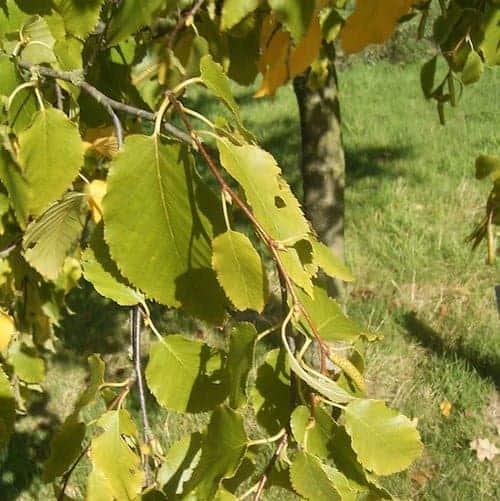 Birch Essential Oil (Sweet) - Sweet Birch Essential Oil