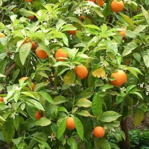 Neroli Essential Oil - Orange Blossom - Artisan Aromatics