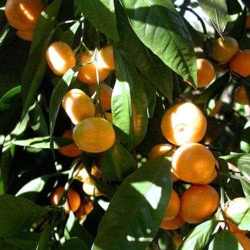 Mandarin Essential Oil (Red)