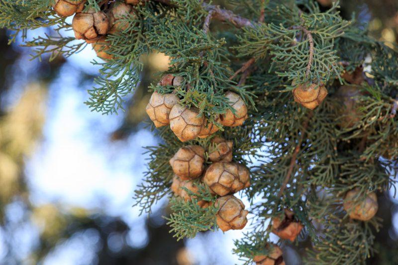 Cypress Essential Oil Artisan Aromatics