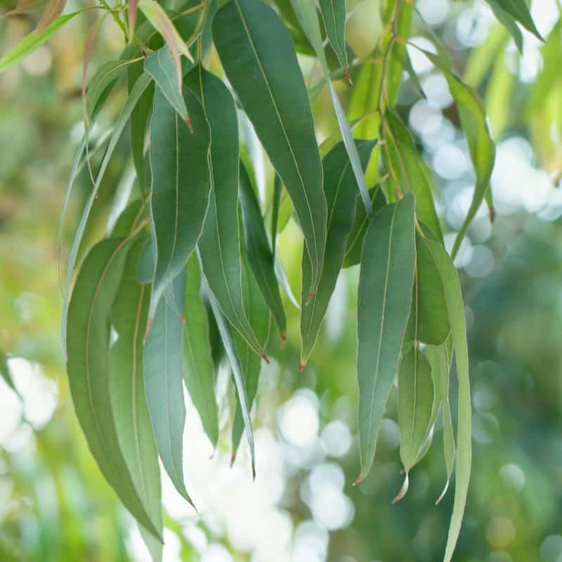 """Eucalyptus tree leaves """" Organic Eucalyptus Essential Oil"""