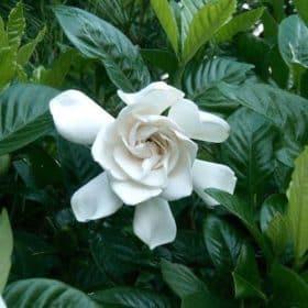 Organic Gardenia Essential Oil | Organic Gardenia Enfleurage Oil