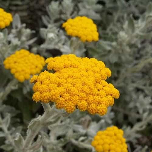 Helichrysum Essential Oil (France)