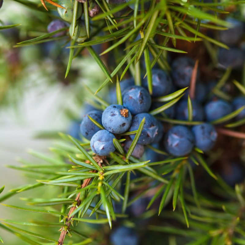 Wildcrafted Juniper Berry Essential Oil