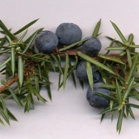 Juniper Berry Essential Oil
