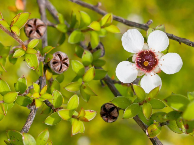 Manuka Essential Oil Artisan Aromatics