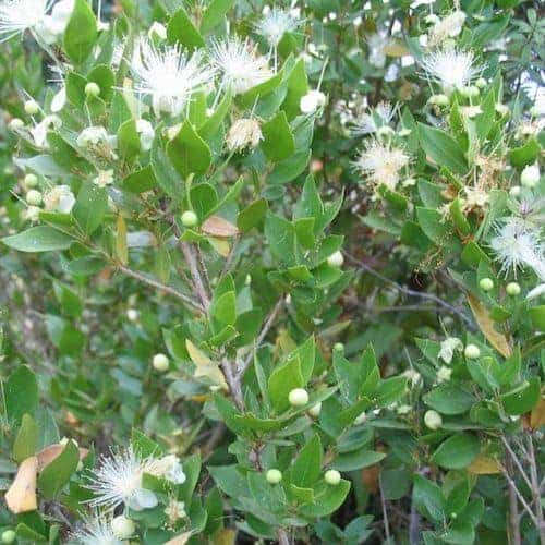 Myrtle Essential Oil (Organic)