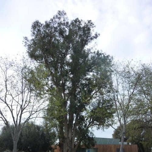 Eucalyptus Globulus Essential Oil (Organic)