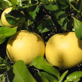 Organic White Grapefruit Essential Oil Artisan Aromatics