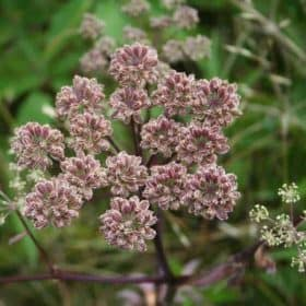 Wildcrafted Angelica Seed Essential Oil