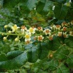 Frankincense Essential Oil (Somalia)