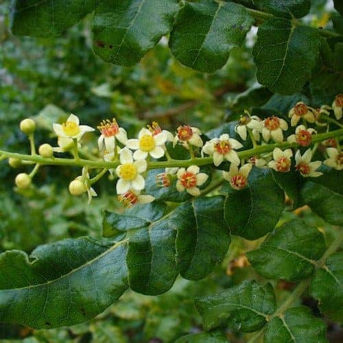 Frankincense Essential Oil (Somalia) | Frankincense Hydrosol