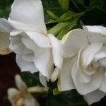 Gardenia Solid Perfume - Artisan Aromatics
