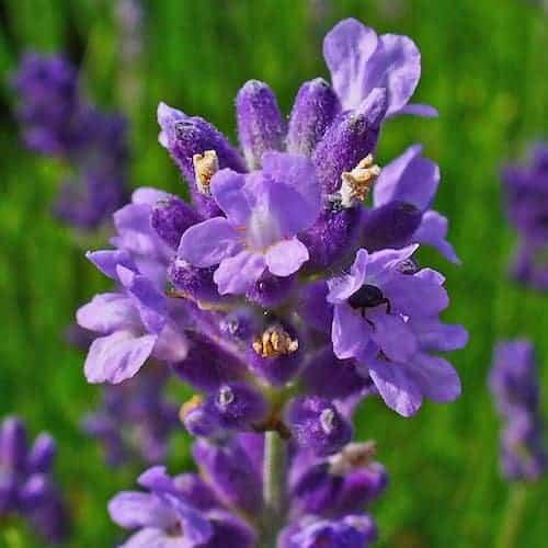 Lavender Essential Oil (Bulgaria)
