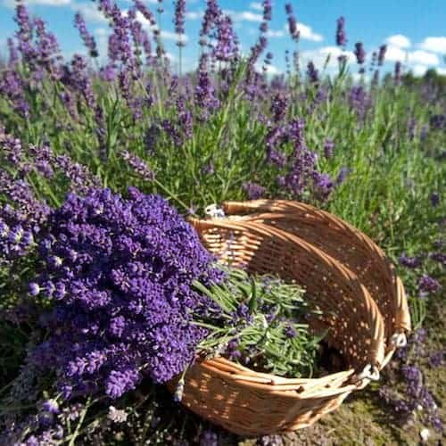 Lavender 40/42 Essential Oil - France - Artisan Aromatics
