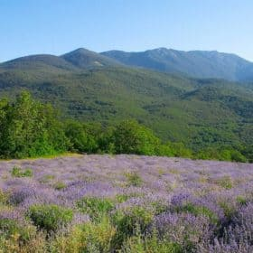 Lavender Essential Oil (High Alpine) - Artisan Aromatics