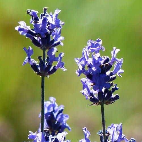 Organic Lavender Provence Essential Oil
