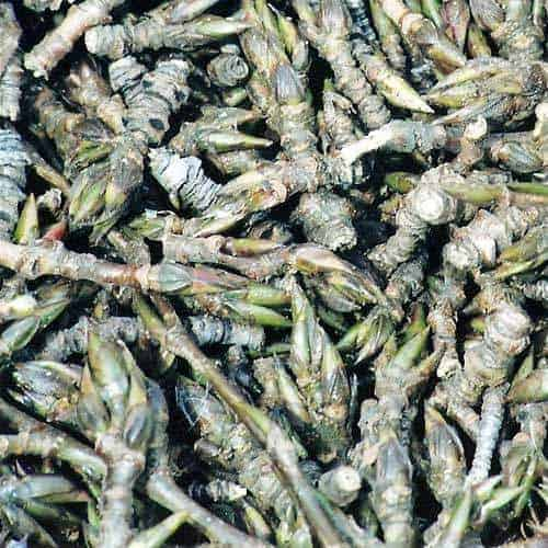 Balsam Poplar Essential Oil - Artisan Aromatics