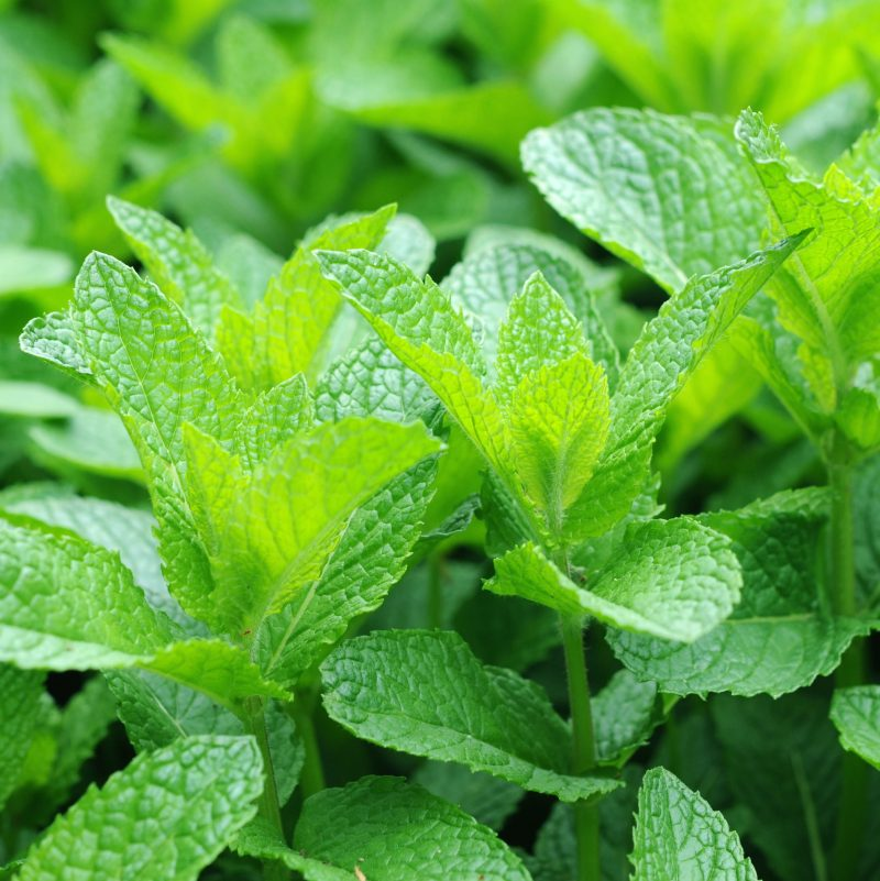 Artisan Aromatics Peppermint Organic Essential Oil UK