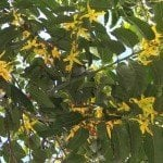 Ylang Ylang Complete Extra - Artisan Aromatics