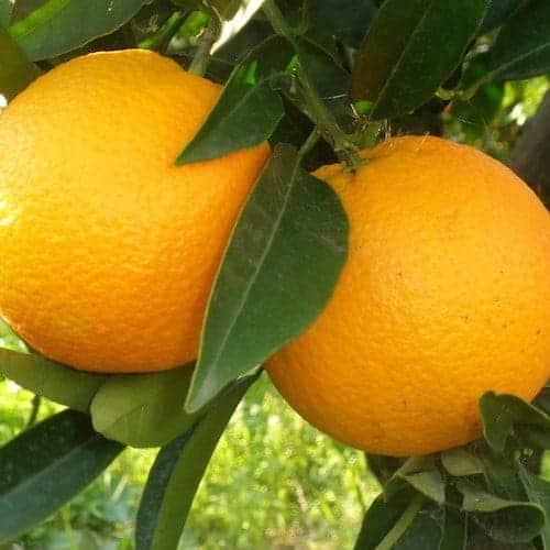 Orange Essential Oil (Sweet)