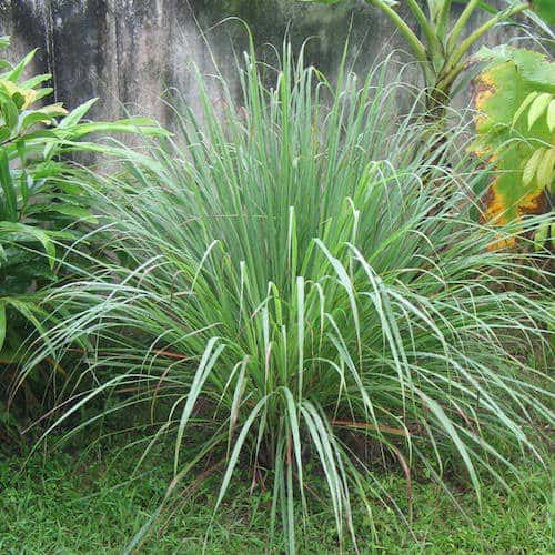 Palmarosa Essential Oil | Cymbopogon martinii