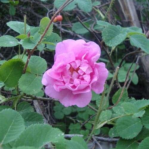 Organic Rose Essential Oil (Enfeurage) - Artisan Aromatics