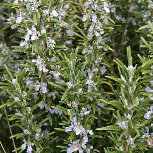 Organic Rosemary Verbenone Essential Oil