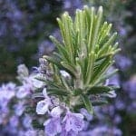 Rosemary Essential Oil (Spanish)