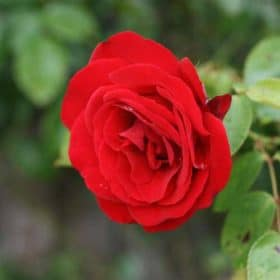 Rose Otto Essential Oil - Artisan Aromatics