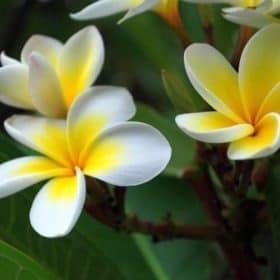 Frangipani Essential Oil - Enfleurage (Organic)
