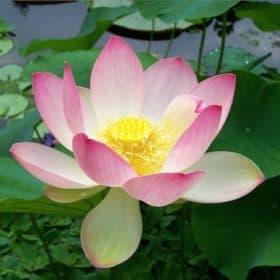 Artisan Aromatics White Lotus Absolute