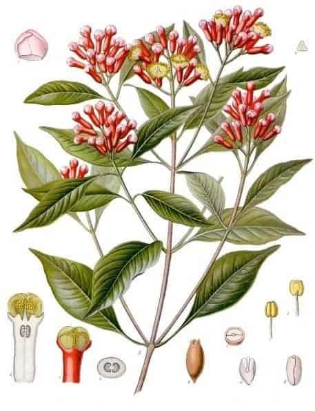 Clove Leaf Essential Oil | Clove Essential Oil