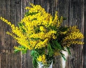 Mimosa Absolute Artisan Aromatics