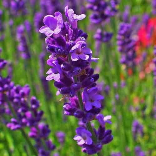 Lavender Essential Oil | Lavender Population Lavandula angustifolia