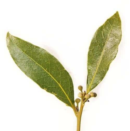 Bay leaf use to produce Bay Laurel Essential Oil