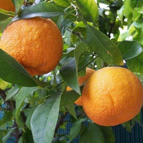 Orange Blossom Essential Oil