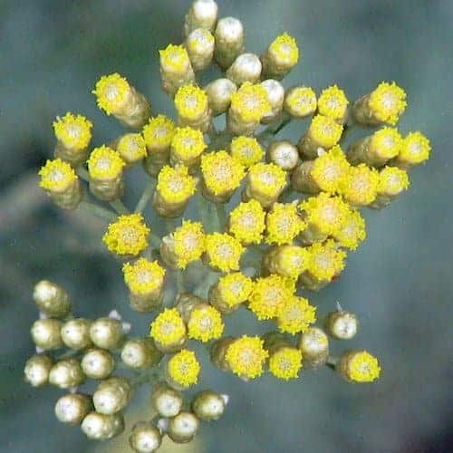 Wildcrafted Helichrysum Essential Oil, Corsica