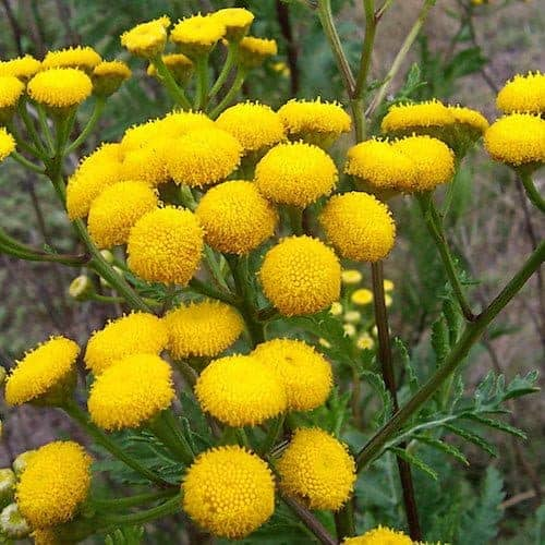 Blue Tansy Essential Oil - Artisan Aromatics