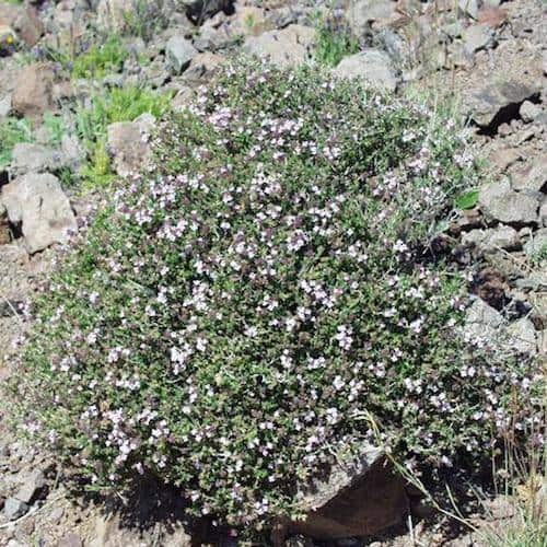 Thyme Thujanol Essential Oil