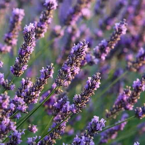 Lavender Essential Oil - 40/42 - USA - Artisan Aromatics