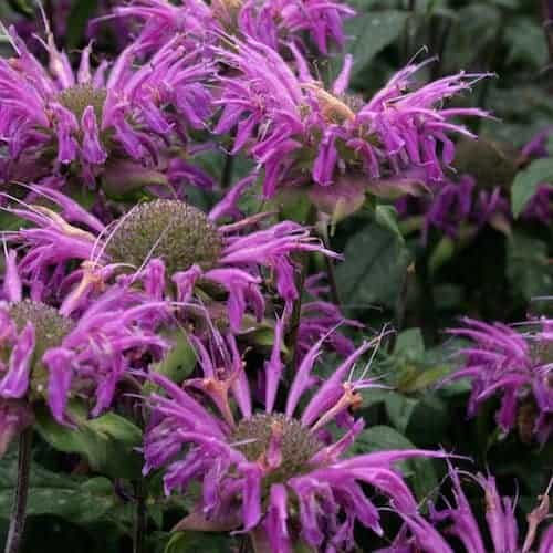 Monarda Essential Oil (Bee Balm)