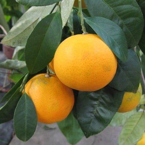 Mandarin Essential Oil (Yellow) - Artisan Aromatics