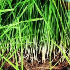 Organic Lemongrass Essential Oil | Lemongrass Essential Oil, Organic