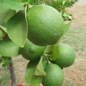 Lime Essential Oil (Distilled) - Artisan Aromatics