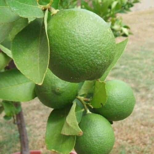 Lime Essential Oil - Artisan Aromatics