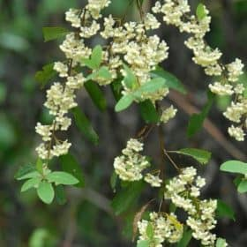 May Chang Essential Oil (Listea Cubeba)