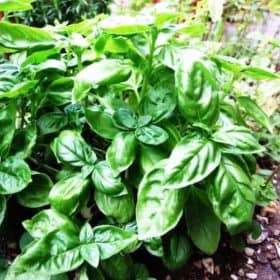 Basil Essential Oil (Organic)